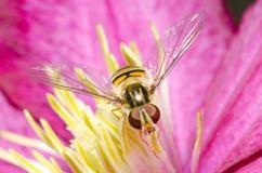 Hoverfly sui pistilli di un fiore Immagine Stock