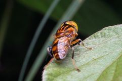 Hoverfly sulla foglia verde Fotografie Stock Libere da Diritti