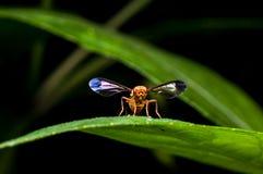 Hoverfly sulla foglia verde Immagini Stock Libere da Diritti