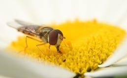 Hoverfly sulla margherita dei campi fotografia stock