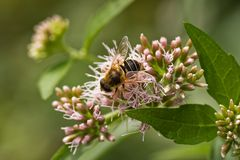 Hoverfly sulla radice della ghiaia Fotografia Stock Libera da Diritti