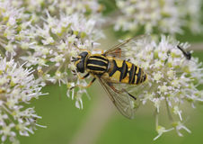 Hoverfly or Sunfly - Helophilus pendulus Royalty Free Stock Photo