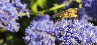 Hoverfly sur Ceanothus photographie stock