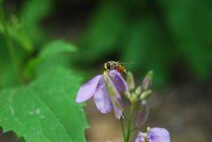 Hoverfly sur l'orychopragmus Photo stock