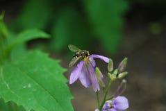 Hoverfly sur l'orychopragmus Photographie stock libre de droits
