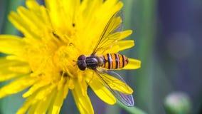 Hoverfly sur la fleur Image stock