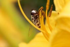 Hoverfly sur la fleur jaune Photo libre de droits