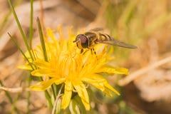 Hoverfly sur un pissenlit Photo libre de droits