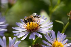 Hoverfly sur une camomille Image stock