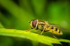 Hoverfly sur une feuille Photo libre de droits