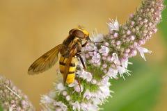 Hoverfly sur une fleur Image stock