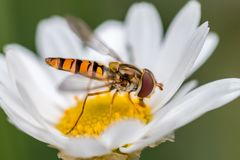 Hoverfly sur une marguerite Image stock