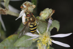 Hoverfly. (or Syrphid Fly) Mimicking a Bee - Grand Bend, Ontario Stock Image
