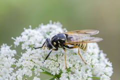 Hoverfly. Syrphid fly Temnostoma meridionale on white flower Royalty Free Stock Photography