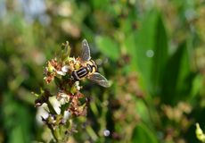 Hoverfly, syrphid, mouche de fleur recueillant le nectar photo stock