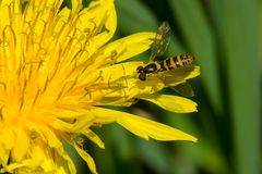 Hoverfly - Syrphid species. Hoverfly perched on a dandelion petal. Also known as Flower Flies. Rouge National Urban Park, Toronto, Ontario, Canada Stock Photos