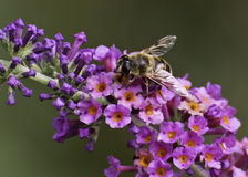 Hoverfly (syrphidae) Stock Image