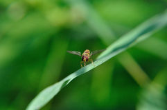 Hoverfly. (Syrphidae) with red eyes Stock Image