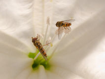 Hoverfly (Syrphidae) on trumpet flower Royalty Free Stock Photos