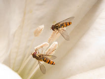 Hoverfly (Syrphidae) on trumpet flower Stock Photos