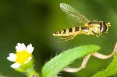 hoverfly Syrphus ribesii 库存图片