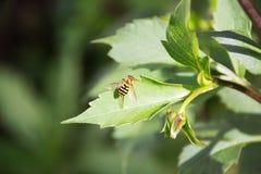 Hoverfly Syrphus ribesii Zdjęcie Royalty Free