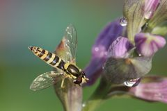 Hoverfly syrphus ribesii auf dem Hosta fortunei Lizenzfreies Stockbild