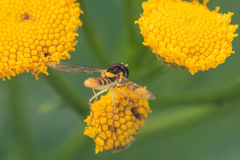 Hoverfly on Tansy Flower royalty free stock photography
