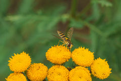 Hoverfly on Tansy Flower Royalty Free Stock Photos