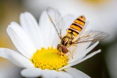 Hoverfly una consumición de una flor de la margarita Imagenes de archivo