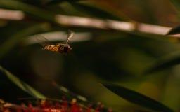 Hoverfly unosić się Zdjęcie Stock
