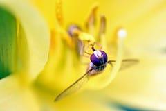 Hoverfly van de marmelade Royalty-vrije Stock Fotografie