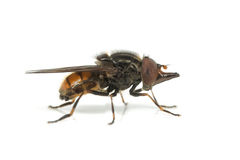 Hoverfly van Rhingiacampestris Stock Fotografie