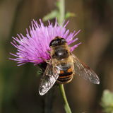 Hoverfly on violet flower Royalty Free Stock Image
