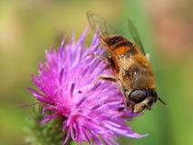 Hoverfly on violet flower Stock Photography