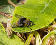 Hoverfly Volucella bombylans Royalty Free Stock Photos