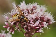Hoverfly - Volucella-inanis royalty-vrije stock afbeeldingen