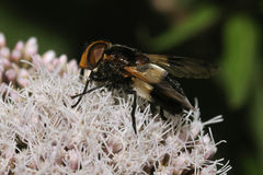 Hoverfly - Volucella pellucens Royalty Free Stock Photography