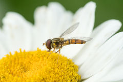 Hoverfly in white daisy flower Stock Photo