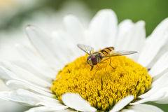 Hoverfly in white daisy flower Stock Image