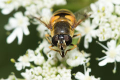 Hoverfly on white flower Royalty Free Stock Images