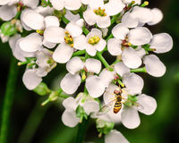 Hoverfly on White Flowers Stock Image
