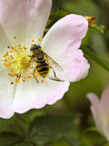 Hoverfly on wild dog rose Stock Images