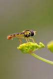 Hoverfly on Wild Parsnip. Macro of a Hoverfly Sphaerophoria Scripta resting on a Wild Parsnip Umbel Stock Images