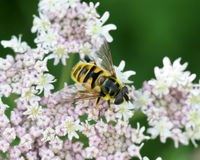 Hoverfly with Wing Pattern. Hoverfly on flower head with the transparent wing pattern visable Royalty Free Stock Photography