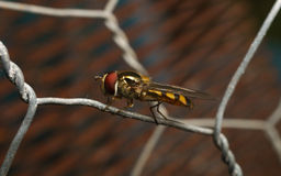 Hover-fly on a wire Stock Photos