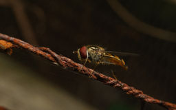 A Hoverfly on a rusty wire Royalty Free Stock Photography