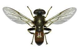 Hoverfly Xylota op witte Achtergrond Stock Afbeeldingen