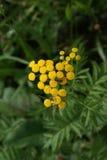 Hoverfly y abeja en tansy común Imagen de archivo libre de regalías