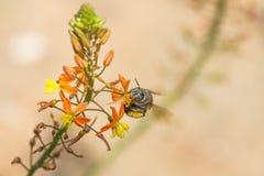Hoverfly y flor amarillo-naranja Imagen de archivo